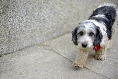 The cute black and white adopted dog. Picture of a The cute black and white adopted dog Royalty Free Stock Photo