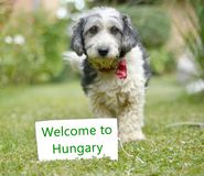 The cute black and white adopted dog. Picture of a The cute black and white adopted stray dog on a green grass. focus on a head of dog. Text welcome to hungary Stock Photo