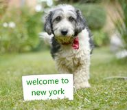 The cute black and white adopted dog. Picture of a The cute black and white adopted stray dog on a green grass. focus on a head of dog. Text welcome to new york Stock Photo