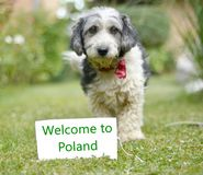 The cute black and white adopted dog. Picture of a The cute black and white adopted stray dog on a green grass. focus on a head of dog. Text welcome to poland Stock Photo