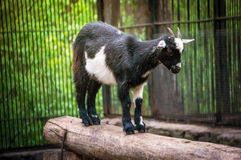 Cute black and white baby goat royalty free stock images