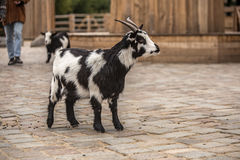 Cute black and white baby goat at zoo in Berlin royalty free stock photography
