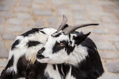 Cute black and white baby goat at zoo in Berlin Royalty Free Stock Image