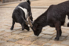 Cute black and white baby goats at zoo in Berlin stock photos