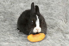 Cute black and white baby rabbit. With an apricot slice Stock Photography