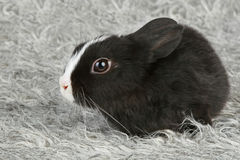 Cute black and white baby rabbit. On grey Royalty Free Stock Photography
