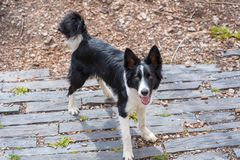 Cute black and white Border Collie puppy In the mountain. royalty free stock images