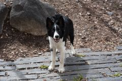 Cute black and white Border Collie puppy In the mountain. royalty free stock photography