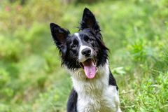 Cute black and white Border Collie puppy In the mountain on Andorra royalty free stock photography