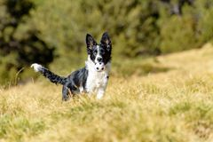 Cute black and white Border Collie puppy In the mountain stock photo