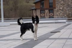 Cute black and white Border Collie puppy In the mountain. royalty free stock photo