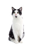 Cute black and white cat. Close up of alert looking black and white cat, isolated on white background royalty free stock images