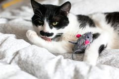 Cute black and white cat with moustache playing with mouse toy and licking paw, grooming on bed. Funny kitty resting and playing royalty free stock photos