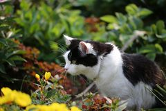 Cute black and white cat in nature with yellow spring flowers. Shallow depth of field royalty free stock photos