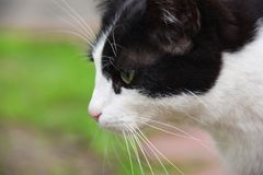 Cute black and white cat. Sitting on the street near wooden house royalty free stock image
