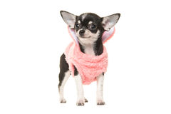 Cute black and white chihuahua puppy waring a pink sweater Royalty Free Stock Photography