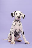 Cute black and white dalmatian puppy sitting looking funny in th Stock Photo