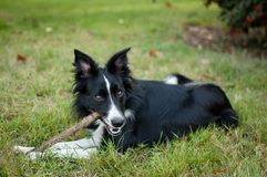 Cute black and white dog playing with stick on the field during sunny hot summer day outdoors. Royalty Free Stock Image