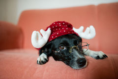 Cute black-and-white dog in suit of reindeer lays on a red sofa. Cute black-and-white dog in a suit of a reindeer lays on a red sofa. On a nose the dog has royalty free stock photography