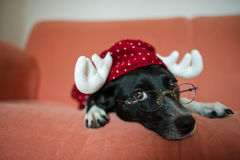Cute black-and-white dog in suit of reindeer lays on a red sofa. Cute black-and-white dog in a suit of a reindeer lays on a red sofa. On a nose the dog has stock images