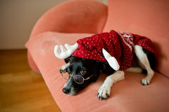 Cute black-and-white dog in suit of reindeer lays on a red sofa. Cute black-and-white dog in a suit of a reindeer lays on a red sofa. On a nose the dog has stock photography
