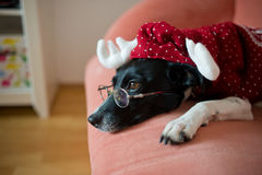 Cute black-and-white dog in suit of reindeer lays on a red sofa. Cute black-and-white dog in a suit of a reindeer lays on a red sofa. On a nose the dog has stock image