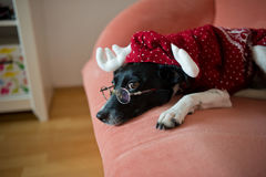 Cute black-and-white dog in suit of reindeer lays on a red sofa. Cute black-and-white dog in a suit of a reindeer lays on a red sofa. On a nose the dog has stock photo