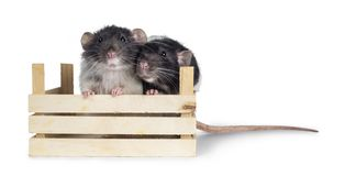 Cute black and white dumbo rats on white background. Two cute black / grey and white dumbo rats sitting in wooden crate. Looking together to the lens. Isolated royalty free stock photos