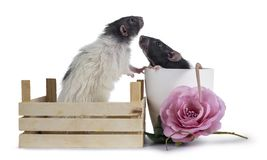 Cute black and white dumbo rats on white background. Two cute black / grey and white dumbo rats sitting in wooden crate / plastic flower pot with pink fake rose stock images