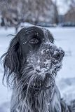 Cute black and white English Setter dog playing in snow Stock Photography