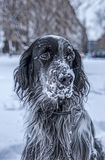 Cute black and white English Setter dog playing in snow Stock Photo