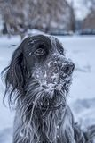 Cute black and white English Setter dog playing in snow Stock Images