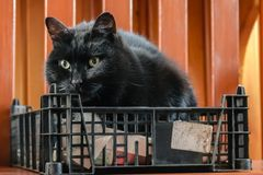 Cute black and white fluffy cat sitting in a wicker basket and looking left royalty free stock photos