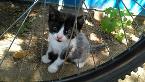 Cute black and white kitten. With blue eyes sitting behind a bicycle wheel on a sunny day Royalty Free Stock Image