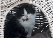 Cute Black and White Kitten Royalty Free Stock Image