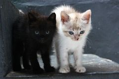 The black and white kitten. The cute black and white kitten expression Stock Photography