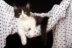 Cute black and white kitten in hammock Royalty Free Stock Photography