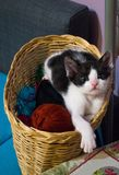 Cute black and white kitten in wicker basket. Cute black and white kitten in a wicker basket is looking at the camera curiously Stock Photo