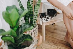 Cute black and white little kitty sitting on wooden leader at owner legs and looking at green plants. Adoption concept. Cat royalty free stock photo