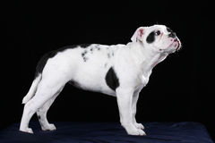Cute black and white old english bulldog puppy Stock Photos