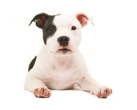 Cute black and white pit bull terrier puppy dog lying on the floor facing the camera Stock Image