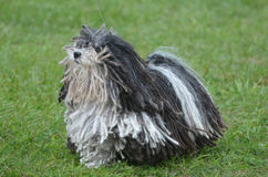 Cute Black and White Puli Dog Stock Image