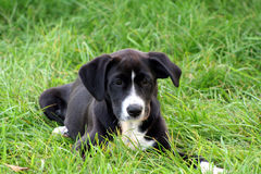 Cute black and white puppy. This black labrador and rottweiller mix puppy is so cute hanging out in the grass Royalty Free Stock Photography