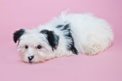 Cute Black and White Puppy Stock Photography