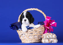 Cute black and white puppy sitting in a basket. Beautiful dog on a blue background. Puppy spaniel. stock image