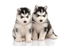 Cute black and white siberian husky puppy sitting and looking on Stock Photography