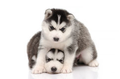 Cute black and white siberian husky puppy sitting and looking on Stock Images
