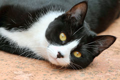 Cute black and white tuxedo cat. A cute black and white cat with the typical tuxedo markings Stock Images