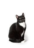 Cute tuxedo cat on white. Cute black and white tuxedo cat on white background Royalty Free Stock Photos
