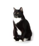 Cute tuxedo cat on white. Cute black and white tuxedo cat on white background Royalty Free Stock Photo